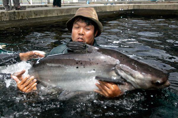 Biggest Mekong Giant Catfish