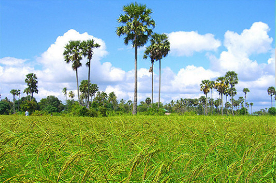Thai rice exporters eye investments in Cambodia   Khmer